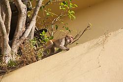 Rhesus Macaque, Mount Popa