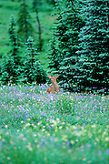 Black-tailed deer fawn in wildflower patch, Mount Ranier