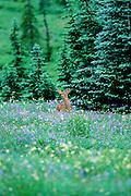 Black-tailed deer fawn in wildflower patch, Mount Ranier