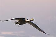 Whooper swan, Cygnus cygnus, adult in flight, flying, Kussharo-ko, Hokkaido Island, Japan, japanese, Asian, wilderness, wild, untamed, ornithology, snow, graceful, majestic, aquatic