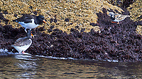 Eurasian Oystercatcher (Haematopus ostralegus), Ruddy Turnstone (Arenaria interpres). Viewed from a RIB Safari Boat tour near Hæna Island. Image taken with a Nikon D4 camera and 80-400 mm VR lens