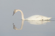 Stock photo of trumpeter captured in Wyoming.  This bird is the worlds largest species of waterfowl.