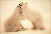 Image of two polar bears (Ursus maritimus) playing in a snow field near Churchill in Manitoba, Canada  (toned black & white conversion) by Randy Wells