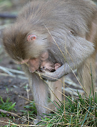 Mother baboon Maya cradles her one-month-old baby, whom zookeepers have named Akila, in the Hamadryas baboon exhibit at the Oakland Zoo, Wednesday, Dec. 23, 2015, in Oakland, Calif. Akila was born Nov. 15, and is the third for ten-year-old Maya and Martijn, the 14-year-old troop leader. (D. Ross Cameron/Bay Area News Group)