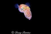 Hawaiian bobtail squid ( endemic ), Euprymna scolopes, at night, South Shore, Oahu, Hawaii, USA ( Central Pacific Ocean )