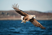 White tailed eagle with a fish in it's talons