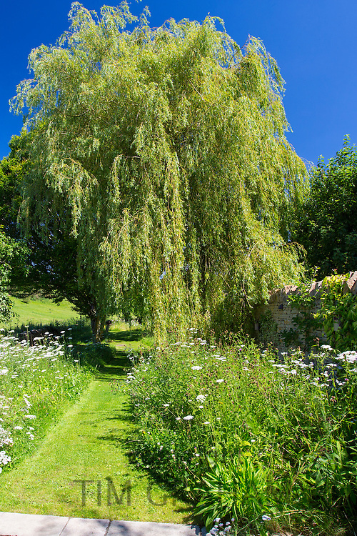 Weeping Willow tree, Salix babylonica, and wildflowers in a country garden in The Cotswolds, Oxfordshire, UK