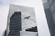 Seagull soaring on the strong wind which now flows between the skyscrapers in the City of London on 16th January 2020 in London, England, United Kingdom.