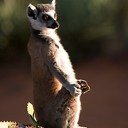 Ring-tailed lemur sunning itself in the early morning. Berenty Reserve, Madagascar