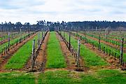 View over the vineyards in winter Bodega Vinos Finos H Stagnari Winery, La Puebla, La Paz, Canelones, Montevideo, Uruguay, South America Uruguay, South America