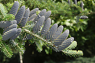 Korean Fir Abies koreana (Pinaceae) HEIGHT to 15m<br /> Usually broadly conical in outline but sometimes dumpy. BRANCHES Level in conical trees. LEAVES Strap-like, blunt needles, notched at tip and up to 18mm long; dark green above but whitish either side of midrib below. REPRODUCTIVE PARTS Male flowers are yellowish; female flowers reddish, maturing into bluish purple cones that ripen brown. STATUS AND DISTRIBUTION Native of Korea, now widely planted in gardens.