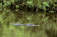 Alligator in pool with green forest reflection, Florida, © David A. Ponton