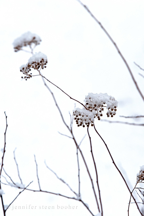 Wildflowers in winter, Maine.