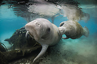 Florida manatee, Trichechus manatus latirostris, a subspecies of the West Indian manatee, endangered. An actively swimming male manatee pursues a female in the shallow area of the springs. Horizontal orientation with tree roots and reflections. Three Sisters Springs, Crystal River National Wildlife Refuge, Kings Bay, Crystal River, Citrus County, Florida USA.