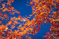 Orange Maple leaves against a bright blue sky from Utah's amazing Fall colors of 2012.