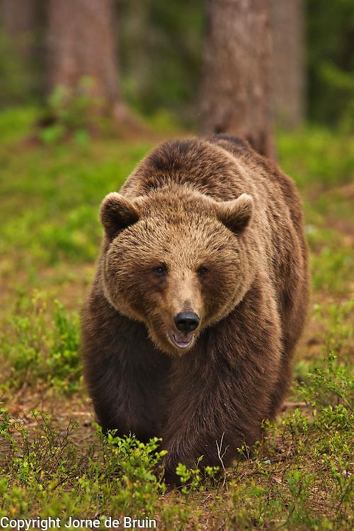 An Eurasian Brown Bear walks in a forest in Finland.