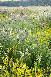 The meadow at Magdalen Hill Down Butterfly Nature Reserve with Greater Knapweed, Hedge and Lady's Bedstraw and Tufted Vetch. Centaurea scabiosa, Galium mollugo, Galium verum, Vicia cracca