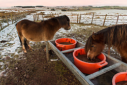 © Licensed to London News Pictures. 02/01/2021. Builth Wells, Powys, Wales, UK. Welsh mountain ponies lick a feed block on the Mynydd Epynt moorland on a freezing morning near Builth Wells in Powys, Wales, UK. Photo credit: Graham M. Lawrence/LNP