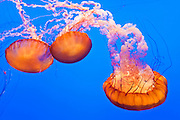 Sea nettles (Chrysaora fuscescens), Monterey Bay Aquarium, Monterey, California USA