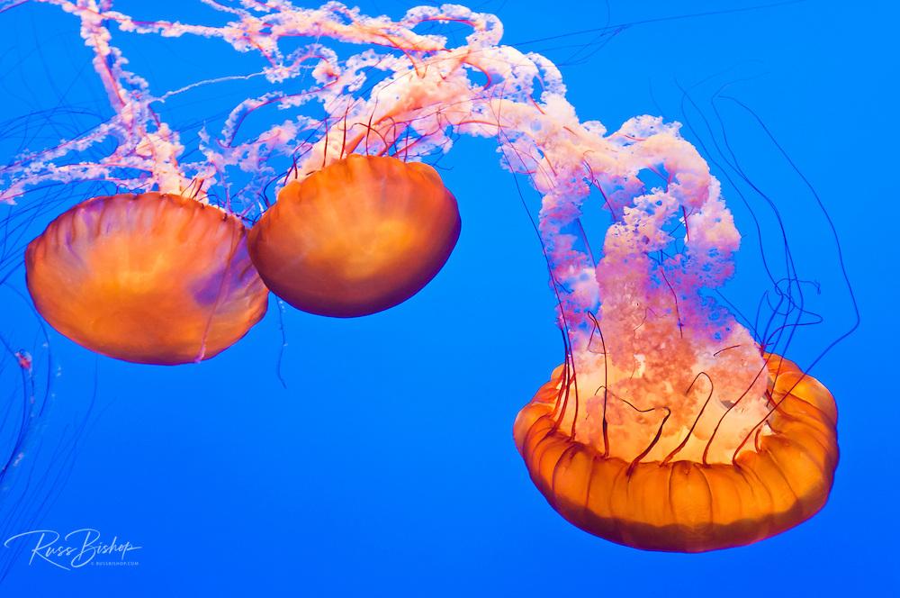 Sea nettles (Chrysaora fuscescens), Monterey Bay Aquarium, Monterey, California USA