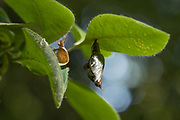 White admiral (Limenitis camilla) pupa suspended from honeysuckle (Lonicera periclymenum). Day 24. Sussex, UK.