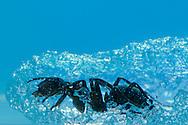 DEU, Deutschland: Rote Waldameise (Formica polyctena), graebt sich einen Gang in Ameisen-Gel. Diese Gel wurde speziell von der NASA entwickelt und samt Ameisen im Space Shuttel in den Weltraum geschickt. Es sollte erforscht werden wie sich Ameisen ohne Schwerkraft verhalten. Heute kann man dieses Gel fuer die Ameisenhaltung kaufen. Das Gel ist das Nest und gleichzeitig Futter fuer die Tiere. So kann man beobachten wie Ameisen ihre Gaenge graben bzw. sich durchfressen. Das verborgene Leben in einem Ameisennest wird so sichtbar, Freiburg, Baden-Wuerttemberg | DEU, Germany: European wood ant (Formica polyctena), digging a tunnel in ant-gel, developed by the NASA for a 2003 space shuttle experiment, to research the behavior in absence of gravity. the gel is net and feed for the animals. so its possible to watch the ants at work, Freiburg, Baden-Wurttemberg |