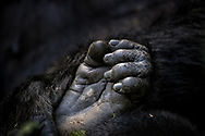 Baby Gorilla's foot wrapped in Mother's protection and embrace in Bwindi, Uganda.