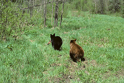 Black Bear, (Ursus americanus) Minnesota, yearling cubs, brown has sucker, black cub steals it and chase is on. Spring.