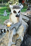Ring-tailed Lemur (Lemur catta) eating an apple