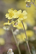 Hoary Rock-rose - Helianthemum oelandicum
