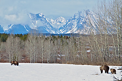 Grizzly Bear sow 610 and her three cubs traveling through the spectacular scenery of Grand Teton National Park