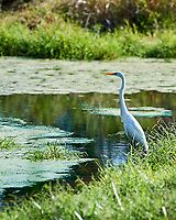 Great Egret (Ardea alba) at the Sourland Mountain Preserve. Image taken with a Nikon D4 camera and 300 mm f/2.8 lens.