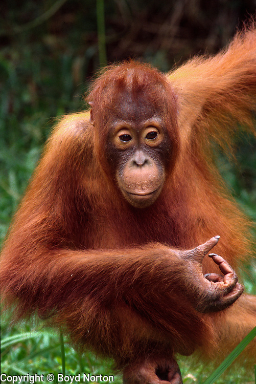 """Orangutan. Borneo rain forest.Tanjung Puting National Park, Kalimantan, Borneo, Indonesia. Highly endangered due to destruction of rainforest habitat.  Name derived from """"orang"""" and """"hutan"""", literaly """"man of the forest"""""""