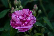 Rosa gallica 'Versicolour' (Rosa Mundi) Chiswick House Gardens, Chiswick House, Chiswick, London, UK