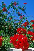 Tropical flower bush, San Pedro, Ambergris Caye, Belize