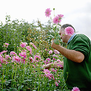 Ian Forbes, No 2 Gardener picking pink dahlias in the garden at Newby Hall estate and gardens, Ripon, North Yorkshire, UK