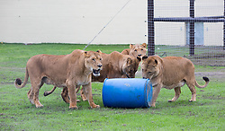 Lions arriving at the Five Sisters Zoo. The four male ex-circus lions will arrived at the Zoo.