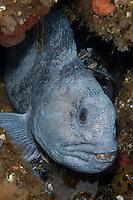 Atlantic wolffish, Anarhichas lupus.Atlantic marine life, Saltstraumen, Bodö, Norway