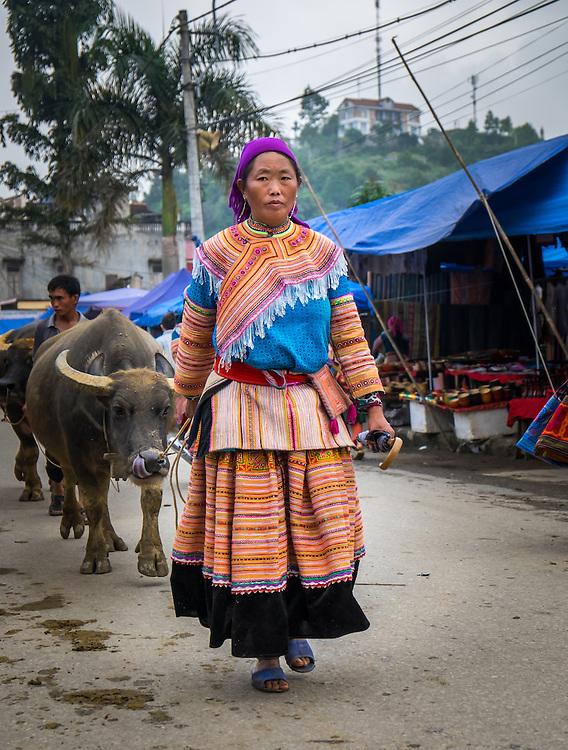 BAC HA, VIETNAM - CIRCA SEPTEMBER 2014:  Hmong woman driving buffalo at the  Bac Ha sunday market, the biggest minority people market in Northern Vietnam