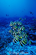 longfin bannerfish or black pennant coralfish, Heniochus acuminatus, Rangiroa Atoll, Tuamotu Islands, French Polynesia, ( South Pacific Ocean )