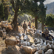 A shepherd with his herd. In the Himalaya.