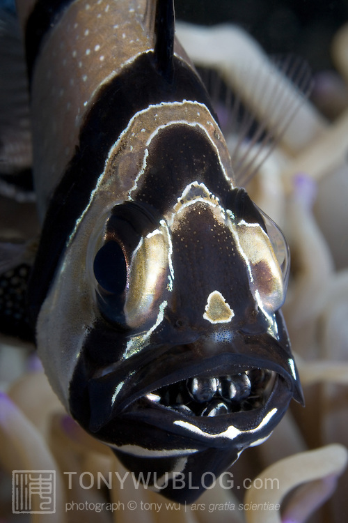 Banggai cardinalfish (Pterapogon kauderni) with hatchlings in its mouth. This is one of only two known fish species whose babies return to the parents at night. The other species is the convict fish (Pholidichthys leucotaenia). Lembeh Strait, North Sulawesi, Indonesia.