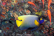 yellowface, yellow-masked,yellowmask, blueface,  yellow-faced, blue-face or blue-faced angelfish, <br /> Pomacanthus xanthometopon,<br /> Maaya Thila, Ari Atoll, Maldives ( Indian Ocean )