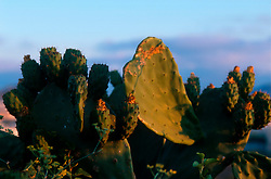 MALTA GOZO VICTORIA JUL00 - Cactusses in the morning light near Victoria. The island is known for it's spiky flora.. . jre/Photo by Jiri Rezac. . © Jiri Rezac 2000. . Tel:   +44 (0) 7050 110 417. Email: info@jirirezac.com. Web:   www.jirirezac.com