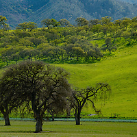 Oak trees await the onrushing spring  during a wet winter in San Benito County, California, near Pinnacles National Park.