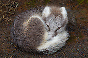 A young arctic fox (Vulpes lagopus) curls up to stay warm during a rainstorm near the summit of Thrihnukagigur, a volcano in southwestern Iceland. The arctic fox is also known as the white fox, polar fox, or snow fox, though it displays its pure white form only in the winter months. Arctic foxes, found throughout the Arctic tundra, are small with a body length of less than 3 feet (85 cm). To survive in such a harsh environment, they have very deep fur and a rounded body shape, which minimizes the portion of their body that is exposed to the elements.