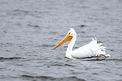 American White Pelican (Pelecanus erythrorhynchos)