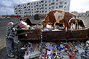 Life in the city is tough but slowly improving. Indeed, the free-range cows dumpster-diving in this parking lot are a perverse sign of affluence; Mongolians now have enough food to throw some away. Ulaanbaatar, Mongolia. Hungry Planet: What the World Eats (p. 231). This image is featured alongside the Batsuuri family images in Hungry Planet: What the World Eats.