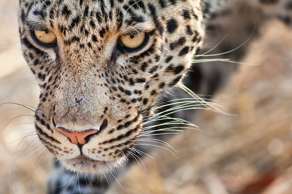 Closeup of a leopard face.