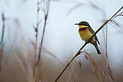 Blue-breasted Bee-eater (Merops variegatus)<br /> Lango Bai<br /> Republic of Congo (Congo - Brazzaville)<br /> AFRICA